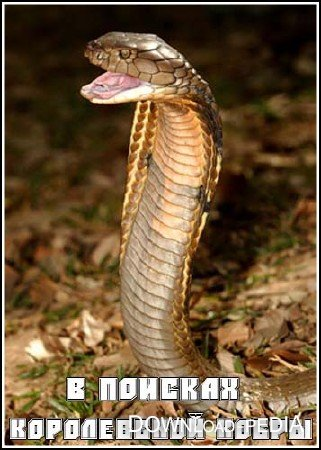 � ������� ����������� ����� / In Search of the King Cobra (2005) SATRip